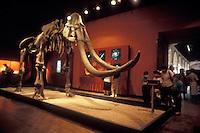 Wooly mammoth skeleton in the Museo Regional de Guadalajara, Mexico