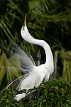 Great Egret, Ardea alba, Courtship display