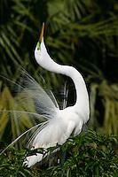 Great Egret, Ardea alba, Courtship display
