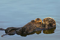 """Sea Otter (Enhydra lutris) mother and pup sleeping.  Young pups have light brown or yellowish fur called the """"natal pelage.""""  This fluffy fur helps the pup stay afloat before it learns the intricacies of swimming, and it will be completely replaced with dark brown adult fur by the time the pup is about three months old."""