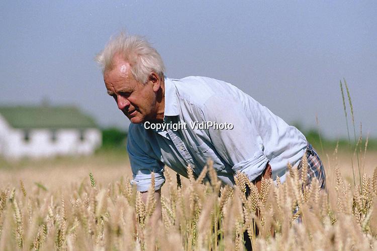 Foto: VidiPhoto..ANDELST - Akkerbouwer D. Tap uit Andelst plukt het wilde gras -hanepoten noemt hij ze- tussen zijn tarwe vandaan. Het onkruid komt normaal gesproken .alleen op de zandgronden voor. Tap vermoedt dat het zaad van de plant met de mest van een loonwerker is meegekomen. Maandag over een week begint voor Tap de tarwe-oogst. Dan moet zijn tarweveld zo schoon mogelijk zijn.