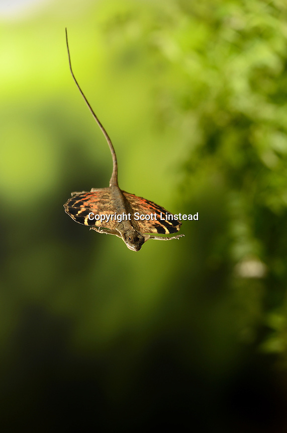 A flying dragon lizard gliding from branch to branch in a forest