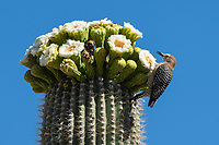A Gila Woodpecker, Melanerpes uropygialis, perches on a blooming Saguaro cactus, Carnegiea gigantea, in Saguaro National Park, Arizona