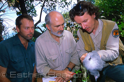 Studying Gould's Petrel chick. Terry O'Dwyer, David Priddel, Nicholas Carlisle of National Parks and Wildlife Service. Cabbage Tree Island, NSW.