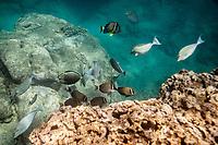 Fish feeding near reef underwater, Shark's Cove, Oahu