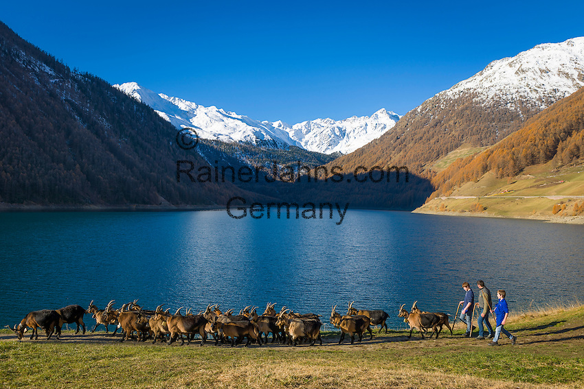 "Italy, Alto Adige - Trentino (South Tyrol), village Vernagt at the end of Valley ""Val Senales"" (Schnalstal) with Lago di Vernago Reservoir, at background snowcapped summits of Texel Group mountains, herd of goats returning to their shed 
