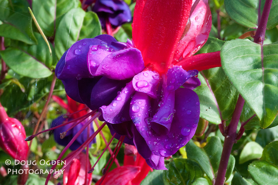 Red and purple Fushia flower with dew