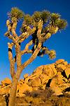 Sunset light on boulder rock outcrop and Joshua tree, near Quail Springs, Joshua Tree National Park, California