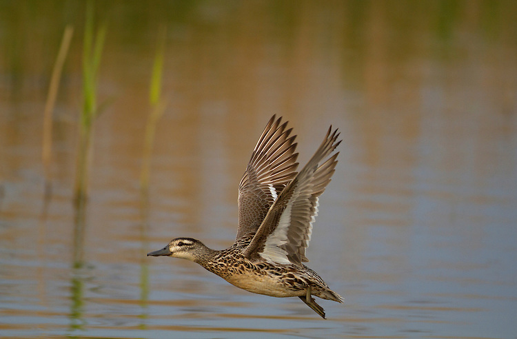 Garganey Anas querquedula L 37-41cm. Teal-sized summer visitor to the region. Favours emergent wetland vegetation, hence unobtrusive. In flight, male shows pale blue-grey forewing and white-bordered greenish speculum; female's speculum is brown. Sexes are dissimilar. Adult male has reddish brown head and broad white stripe above and behind eye. Breast is brown but otherwise plumage is greyish, except for mottled buffish brown stern. In eclipse, resembles adult female but retains wing patterns. Adult female has mottled brown plumage; similar to female Teal but bill is uniform grey bill and has pale spot at base of bill. Juvenile resembles adult female. Voice Male utters diagnostic rattle. Status Scarce breeding bird but fairly widespread on migration.
