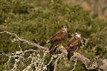Bonelli's Eagles (Aquila fasciata), Castilla y Leon, Spain