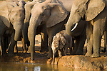 Baby elephant, Loxodonta africana, breeding elephant herd at water in Addo Elephant National park, Eastern Cape, South Africa