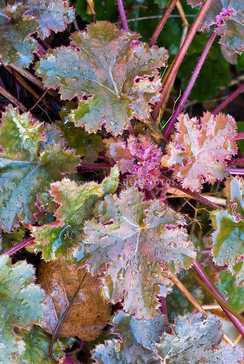 Heuchera Chocolate Ruffles with ruffled edges, purple and green foliage plant