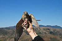 An American Kestrel is held to display its talons, wings and face.