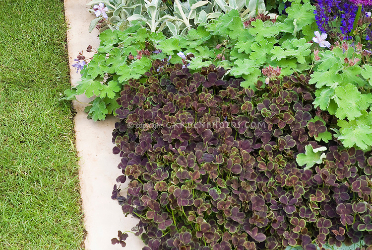 Trifolium repens 'Purpurascens Quadrifolium' clover, Stachys, Veronica in border edged with stone pavers for easy lawn mowing
