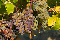 Noble rot, botrytis Cinera, on grape vine in Sauternes,France on the estate of Chateau de Malle