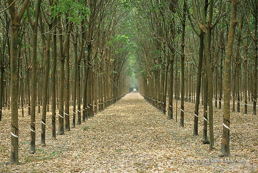 Rubber tree grove near Saigon/Ho Chi Minh City Vietnam