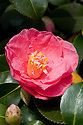Camellia japonica 'Lady Clare', mid March.