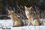 Coyote pair in winter. Rocky Mountain National Park, Colorado.