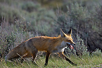 Red Fox, Grand Teton National Park