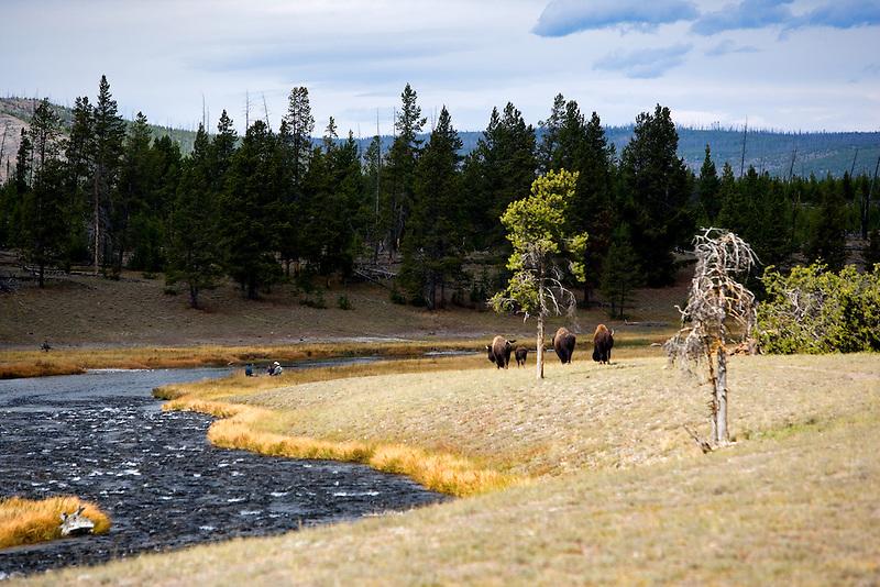 Buffalo alone Firehole River. Yellowstone National Park, WY