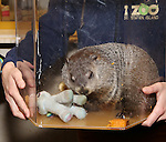 """Staten Island Chuck visits the """"Groundhog Day'' opening day box office at The August Wilson Theatre on February 2, 2017 in New York City."""
