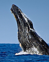 Humpback whale (Megaptera novaeangliae) doing a head-lunging breach, Hawai'i.