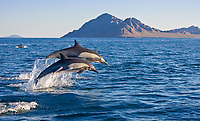 long-beaked common dolphin, Delphinus capensis, pair, jumping, Isla Danzante, Baja California Sur, Mexico, Gulf of California, or Sea of Cortez, Pacific Ocean