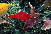 Frosted Maple Leaves lying on Ground, Autumn / Fall