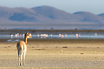Vicuna and Flamingoes, Los Pozuelos National Park, Argentina.