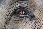 India, Bandhavgarh National Park, Indian elephant, close up of face