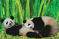 Two giant pandas playing together.