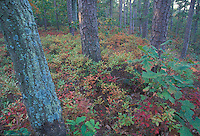 Pine Barrens; autumn; fall; color; NJ; pitch; pine; huckleberry;