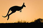Australia,  NSW, Sturt National Park; red kangaroo jumping on ridge at sunset (Macropus rufus); the red kangaroo population increased dramatically after the recent rains in the previous 3 years following 8 years of drought