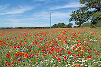 Nectar & pollen field margin - Norfolk, Augaust