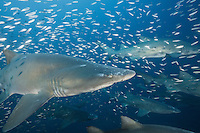 TP70051-D. Sand Tiger Sharks (Carcharias taurus) swim through baitfish 100 feet deep above the shipwreck of the Atlas, a 450-foot long oil tanker which sank in 1942 during World War II when torpedoed by a German U boat. Fearsome in appearance but not aggressive, sand tigers pose no threat to divers unless provoked. They grow to 10.5 feet long and are found in Atlantic, Indian, and Pacific Oceans. North Carolina, USA, Atlantic Ocean.<br /> Photo Copyright &copy; Brandon Cole. All rights reserved worldwide.  www.brandoncole.com