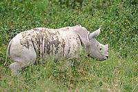 White Rhinoceros (Ceratotherium simum), young, Lake Nakuru National Park, Kenya, Africa