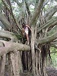 woman climbing Banyan Tree, Kipahulu