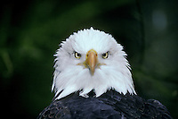 Bald Eagle (Haliaeetus leucocephalus).(Northwest Trek, Eatonville, WA)