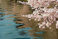 Cherry Blossom Reflections in the Tidal Basin during the Cherry Blossom Festival, Washington, DC