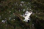 A dead lamb in a field on the the Inner Hebridean island of Colonsay on Scotland's west coast.  The island is in the council area of Argyll and Bute and has an area of 4,074 hectares (15.7 sq mi). Aligned on a south-west to north-east axis, it measures 8 miles (13 km) in length and reaches 3 miles (4.8 km) at its widest point, in 2019 it had a permanent population of 136 adults and children.