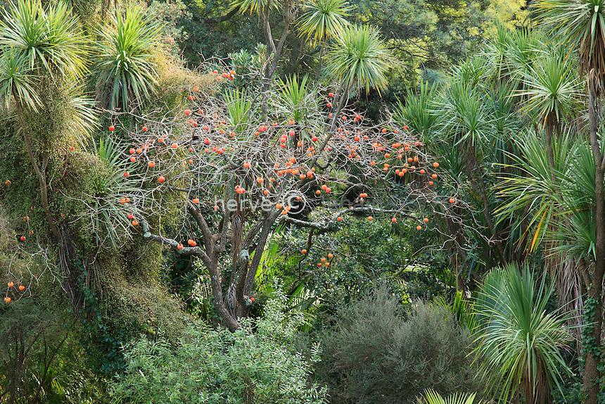 Domaine du Rayol en novembre : le jardin de Nouvelle-Zélande, un kaki (Diospyros kaki) et ses fruits oranges entouré de cordylines australes
