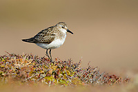 Semipalmated Sandpiper (Calidirs pusilla). Yukon Delta National Wildlife Refuge. June.