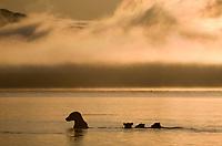 Brown bear sow fishes with spring cubs at sunrise in Naknek lake, Katmai National Park, Alaska.