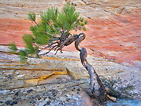 Bonsa ponderosa pine tree struggling to survive and Cherboard Mesa.  Zion National Park, Utah.