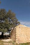 Samaria, Kermes Oak tree (Quercus Caliprinos) at Sheikh Zeid
