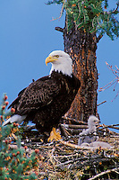 Bald Eagle (Haliaeetus leucocephalus) nest with young eaglets and adult.