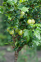 Gooseberry 'Hinnonmaki Green', mid June.