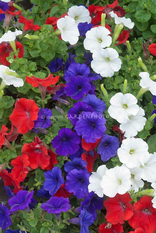 Patriotic Colors Garden Plants Red White Blue Stock Photos - Images ...