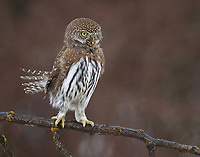 A visual hunter, Northern Pygmy-Owls will often stand tall to look over branches.  (Washington)