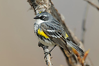 "Adult male ""Myrtle"" Yellow-rumped Warbler in breeding plumage. Seward Peninsula, Alaska. May."